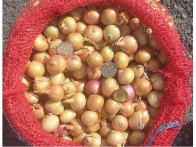 Лук выборка (на перо) из севка